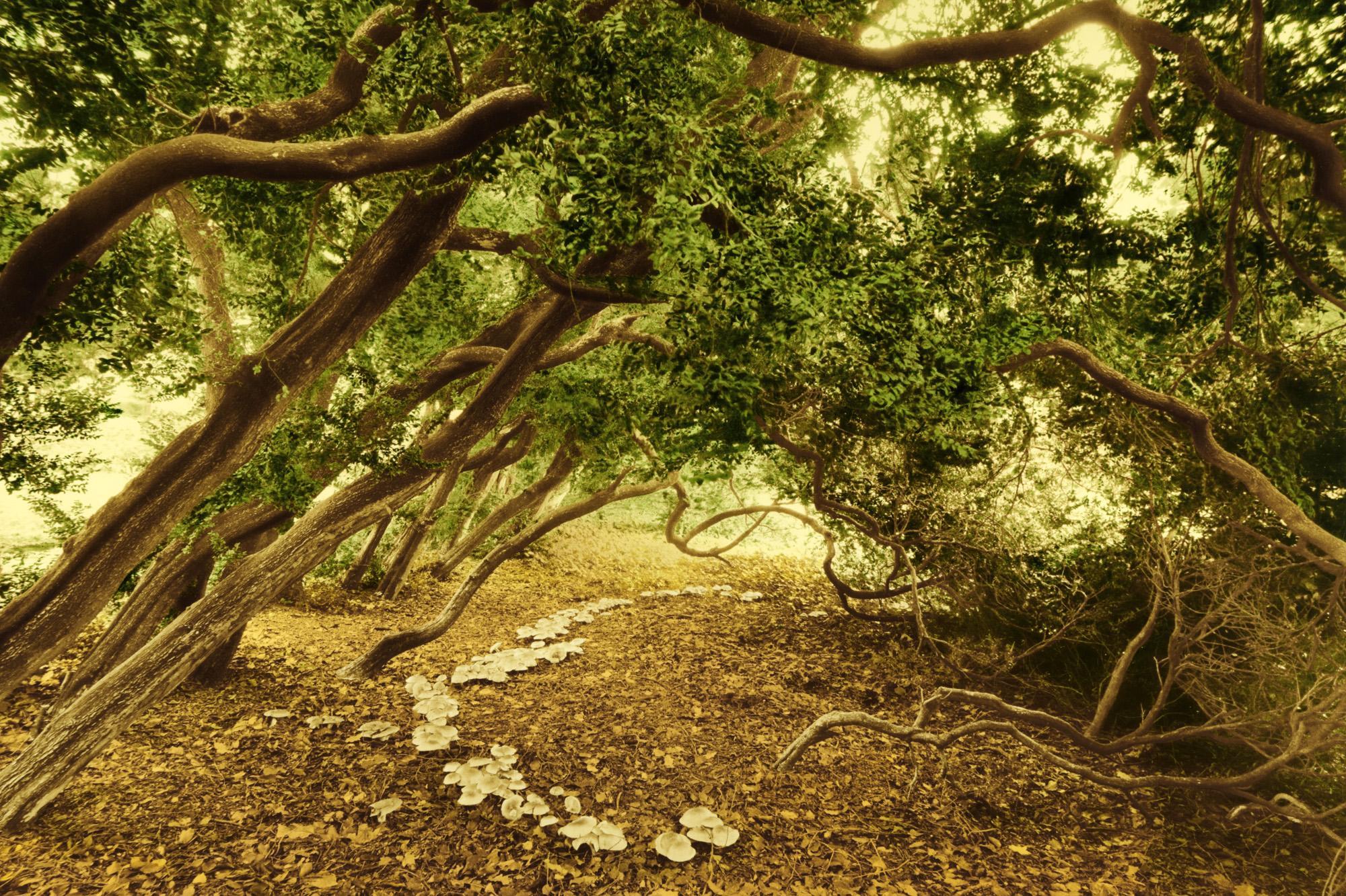 Buchsbaum-Reihe im Schlosspark Krumke, Sachsen-Anhalt / Alter ca. 300 Jahre, Umfang ca. 0,5 Meter