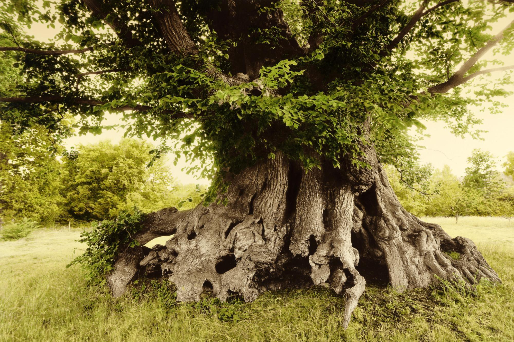 Ulme in Gülitz, Brandenburg / Alter ca. 350 - 500 Jahre, Umfang ca. 10 Meter